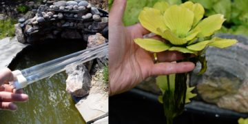 Best Way to Remove Algae from Your Koi Pond