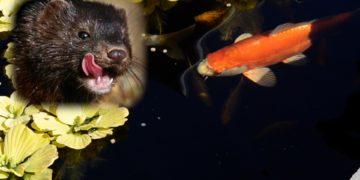 Biggest Predators of Koi & Goldfish
