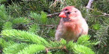 Bird Calls of Nature Sounds