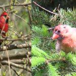 Cardinal Bird Sounds