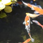How Many Fish Per Gallon in a Pond