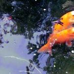 Fishpond Feeding Time - koi and goldfish - stop feeding koi when temperature drops