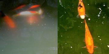 Pond Algae Removal