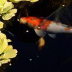 Koi Pond Predator Control - 95 per cent Effective