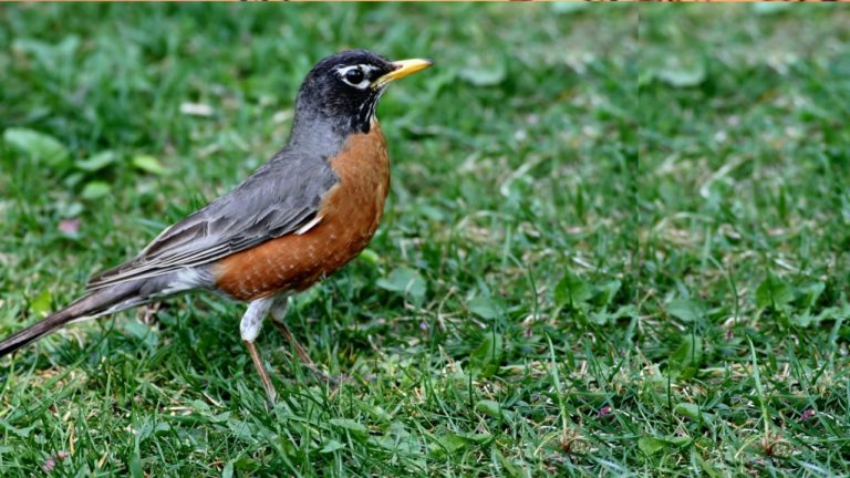 Robins and other Morning Songbirds - nature sounds