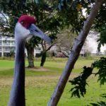 Bird - Sandhill Crane