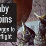 Baby Robins from eggs to first flight image