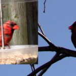 cardinal bird calling sound